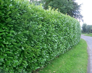 Prunus laurocerasus (common laurel) hedge